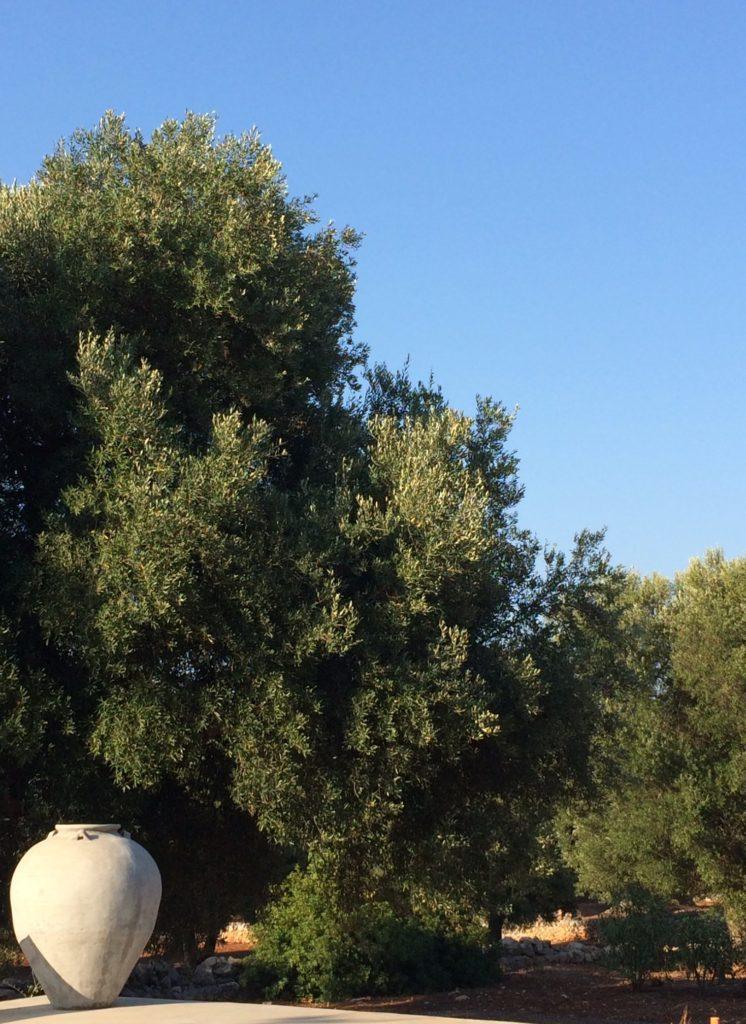 Ulivi a Carovigno